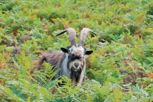 Arapawa Island Goat - pg. 25